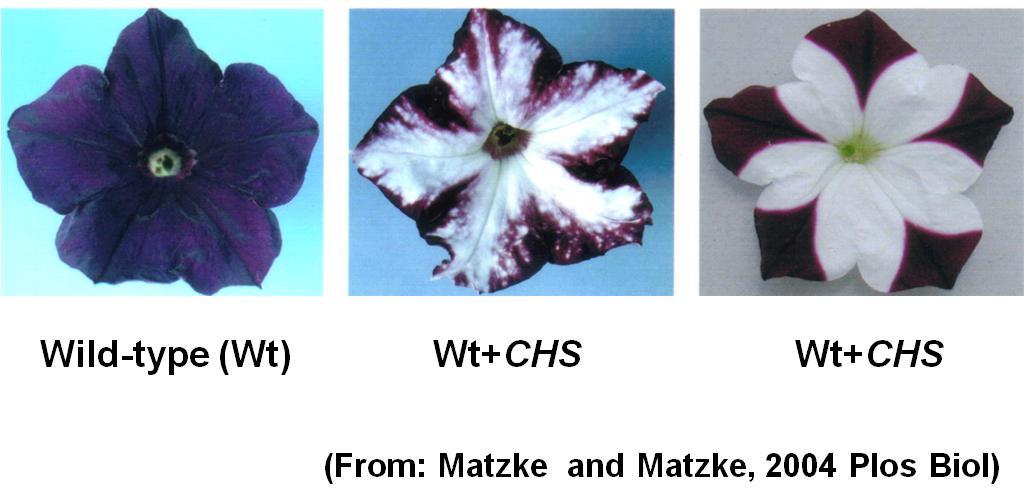 A classic example of RNA silencing. Chalcone synthase (CHS) is the key enzyme in flavonoid biosynthesis and is critical for flower pigmentation. However, introduction of additional copies of CHS genes into wild-type Petunia can lead to loss of pigment (white areas) owing to cosuppression of the transgene and homologous endogenous plant gene.