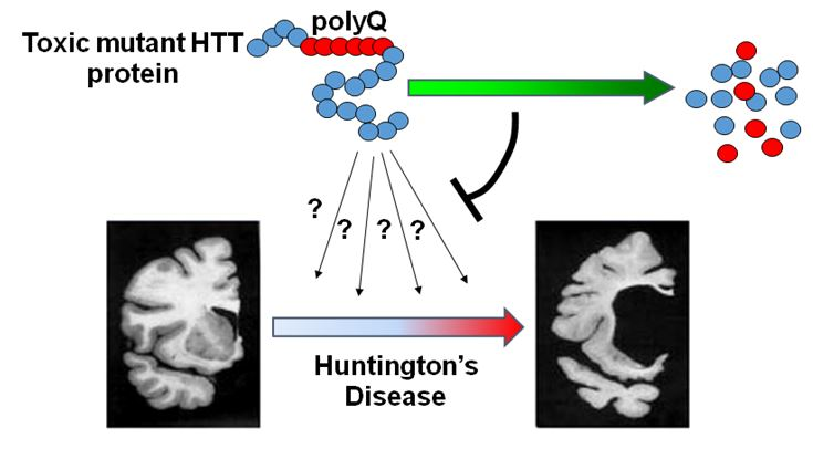 "Huntington's disease (HD) is a dominantly inherited disease that is cause by mutations of a single gene called HTT. Despite this clear understanding of the genetics, drug discovery for HD remains challenging. HD is mainly caused by the gain of toxic function of the mutant HTT protein (mHTT) containing an expanded polyglutamine (polyQ) stretch. Yet the mechanism of mHTT toxicity remains unclear, preventing efforts to screen for mHTT ""inhibitors"". Our lab is pursuing the idea that lowering mHTT can attenuate the downstream toxicity of mHTT and thus treat HD. This idea has been validated in a number of different HD models by directly knocking-down HTT."