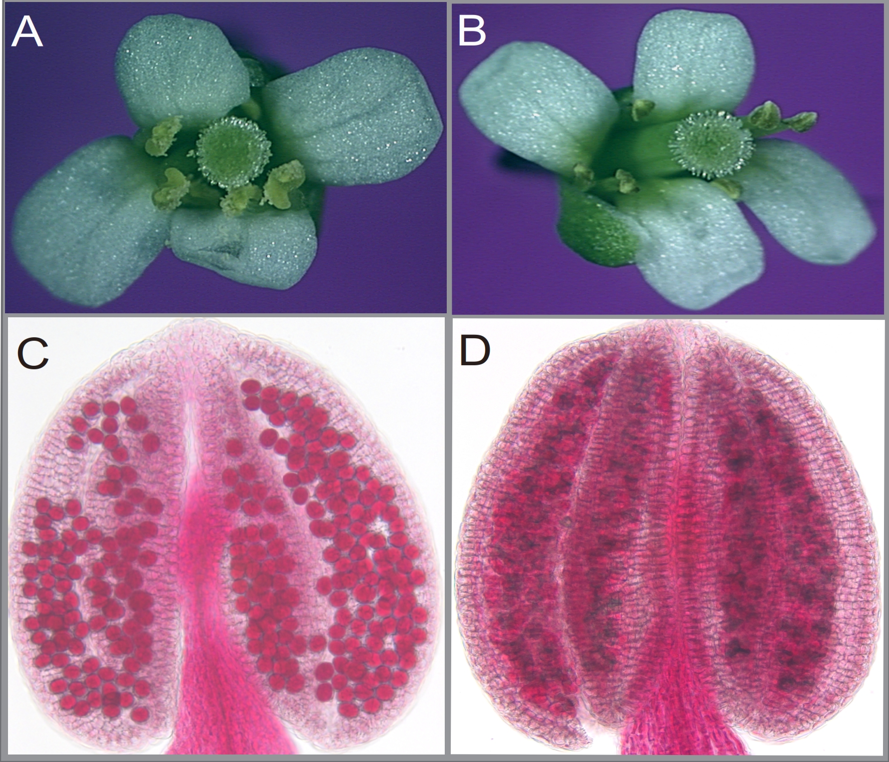 Phenotypes of Arabidopsis wild-type and the cdm1 mutant reproductive organs. (A), wild-type flower with plenty of pollen grains released from each anther. (B), cdm1 flower, showing similar floral structures but with no pollen grains observed on the anthers. (C), Alexander staining showing the viable pollen grains in a wild-type anther. (D), Dead pollen grains detected in blue in a cdm1 anther.