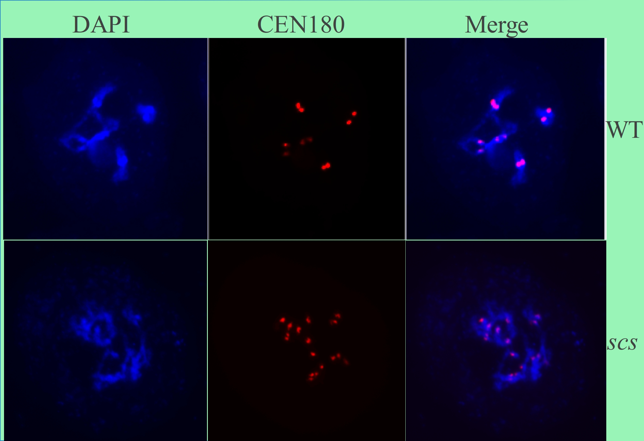 DAPI and FISH analyses of meiotic chromosome behavior in Arabidopsis male meiocytes. In wild-type cells, meiotic recombination is normally formed between homologous chromosomes. However, in the scs mutant cells, sister centromeres are separated apart, showing the defects of chromosome movements.