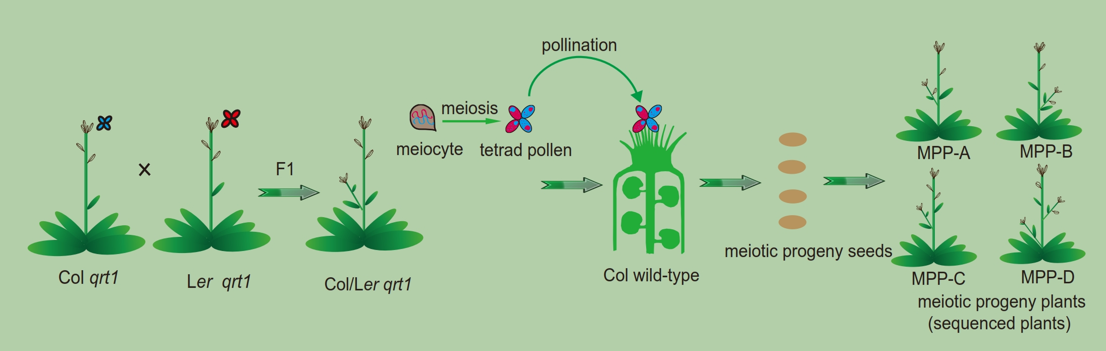 A schematic illustration of using genetic crosses to generate meiotic progeny plants for comprehensively investigating meiotic recombination events at a whole genome level at a single DNA base resolution. Notice: Only one pollen tetrad (four pollen grains) was picked for pollination.
