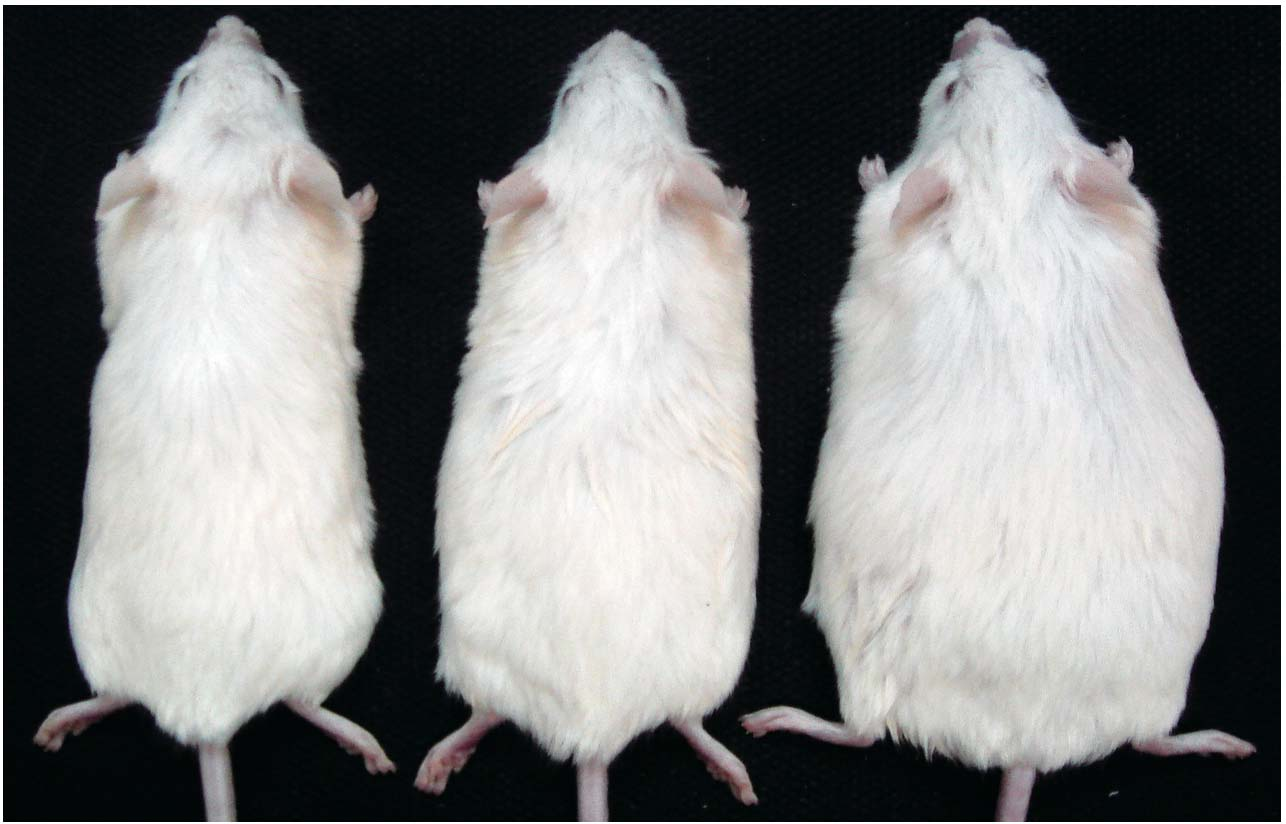 An obese mutant mouse and its non-obese littermates.