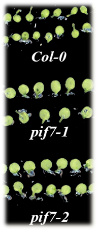 Mutant plants (pif7-1 and 2) exhibit smaller cotyledon size compared to wildtype plants (Col-0).
