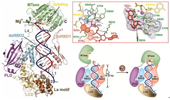 Crystal structure of Arabidopsis small RNA specific methyltransferase Hen1 in complex with miRNA duplex and the molecular mechanism of substrate recognition.