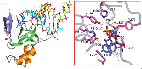Crystal structure of the PAZ domain from human Argonaute 1 in complex with small RNA and specific recognition of the 3'-end 2-nucleotide overhang.